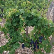 Vines come in many shapes