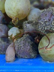 Botrytis Grapes